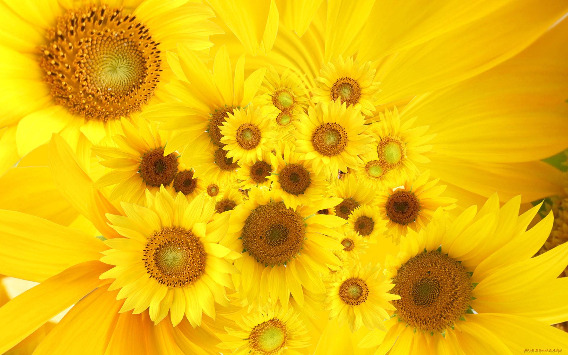 Картинки на телефон цветы подсолнухи